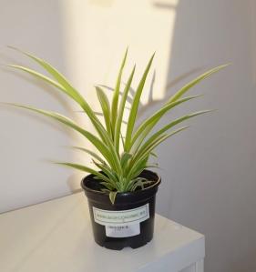 plantaverde